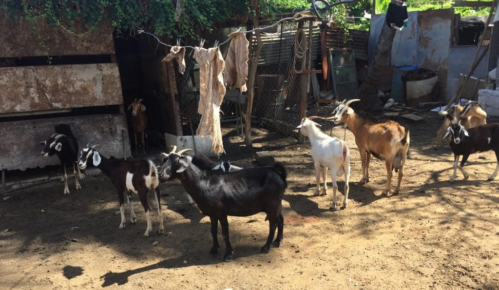 Goats are part of a church project in Havana to provide animal protein for area families.