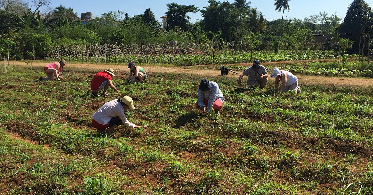 Justice Camp participants in the food security immersion program clear weeds from around yuca plants in the organic farm located behind the Iglesia Episcopal Santa Maria Virgen in Itabo, Cuba.