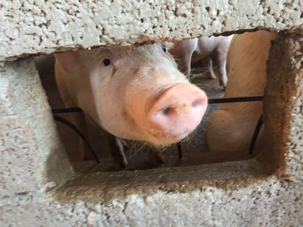 One of the residents in the pig pen at Iglesia Santa Maria Virgen.